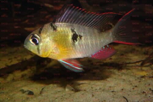 deutsche-cichliden-gesellschaft-dcg-mikrogeophagus-altispinosus-foto-jennifer-rieck