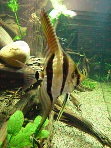 deutsche-cichliden-gesellschaft-dcg-pterophyllum-altum-foto-harald-kahden