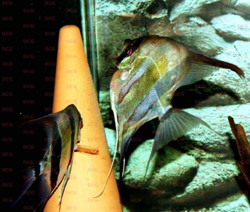 deutsche-cichliden-gesellschaft-dcg-pterophyllum-altum-foto-metzler