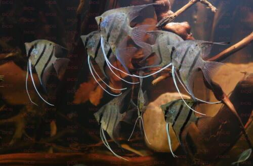 deutsche-cichliden-gesellschaft-dcg-pterophyllum-scalare-peru-altum-foto-stafn-pierdzig