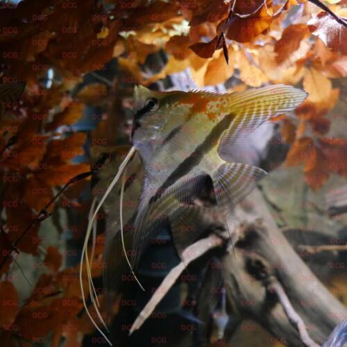 deutsche-cichliden-gesellschaft-dcg-pterophyllum-scalare-st-isabel-foto-stafn-pierdzig
