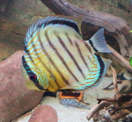 dcg-cichliden-symphysodon-tarzoo-foto-stefan-pierdzig-01