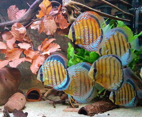dcg-cichliden-symphysodon-tarzoo-foto-stefan-pierdzig-02