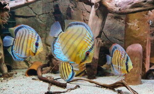 dcg-cichliden-symphysodon-tarzoo-foto-stefan-pierdzig-03