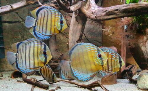 dcg-cichliden-symphysodon-tarzoo-foto-stefan-pierdzig-04