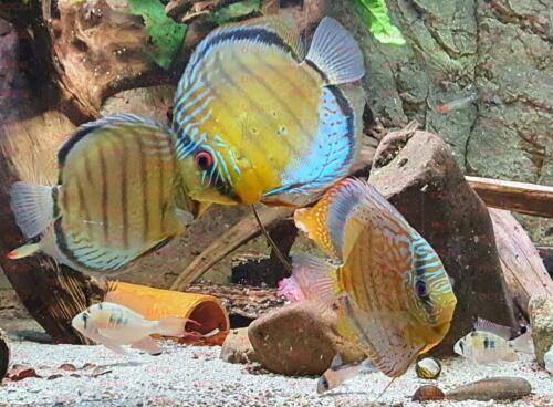 dcg-cichliden-symphysodon-tarzoo-foto-stefan-pierdzig-05