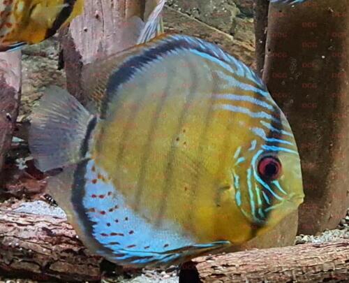 dcg-cichliden-symphysodon-tarzoo-foto-stefan-pierdzig-06