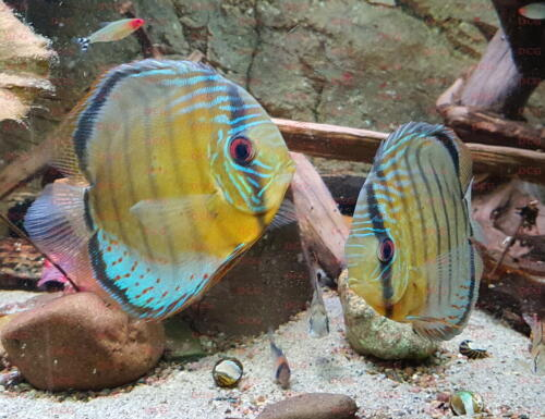 dcg-cichliden-symphysodon-tarzoo-foto-stefan-pierdzig-07