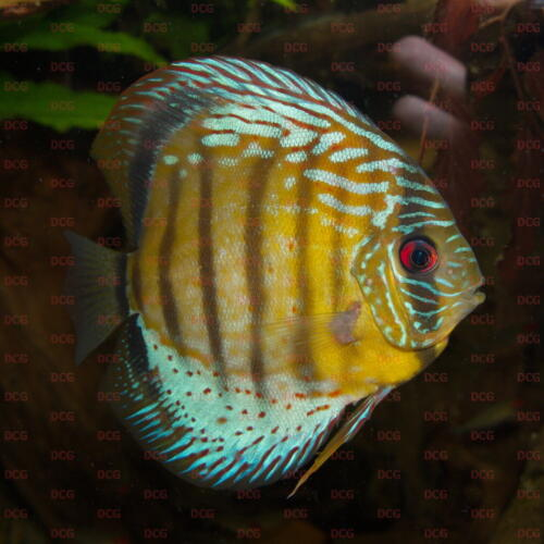 dcg-cichliden-symphysodon-tarzoo-foto-stefan-pierdzig-09