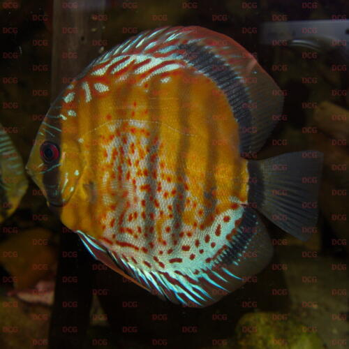 dcg-cichliden-symphysodon-tarzoo-foto-stefan-pierdzig-10