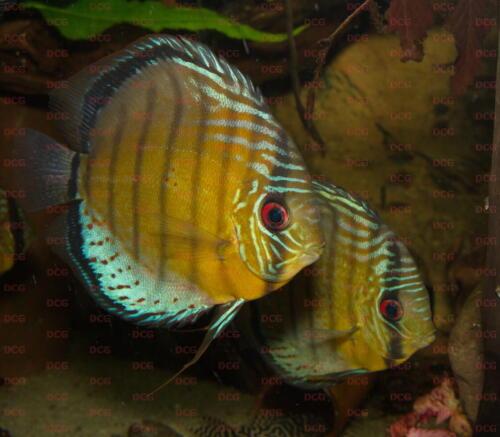 dcg-cichliden-symphysodon-tarzoo-foto-stefan-pierdzig-11