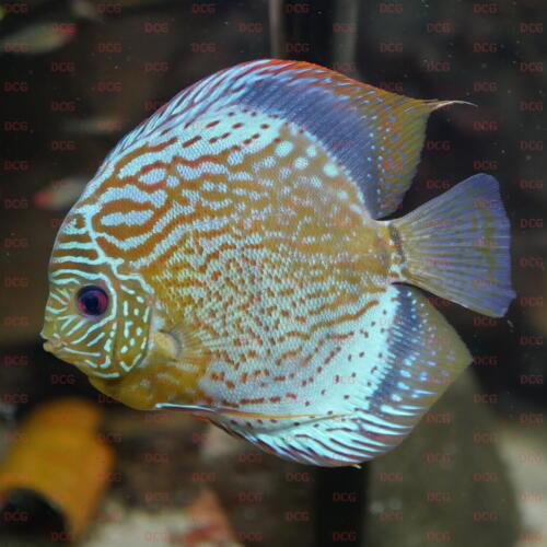 dcg-cichliden-symphysodon-tarzoo-foto-stefan-pierdzig-12