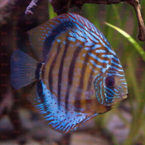 dcg-cichliden-symphysodon-tarzoo-foto-stefan-pierdzig-13
