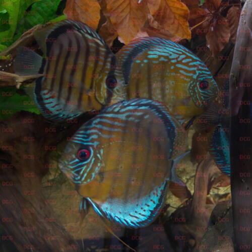 dcg-cichliden-symphysodon-tarzoo-foto-stefan-pierdzig-15