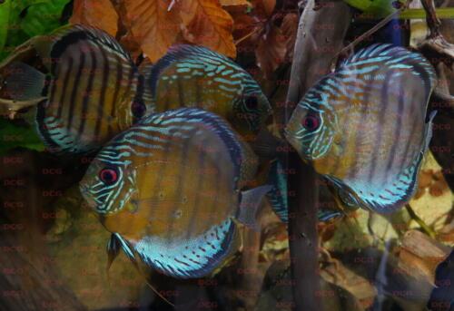 dcg-cichliden-symphysodon-tarzoo-foto-stefan-pierdzig-16