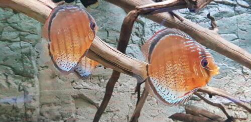 dcg-cichliden-symphysodon-tarzoo-foto-stefan-pierdzig-18