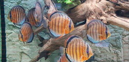 dcg-cichliden-symphysodon-tarzoo-foto-stefan-pierdzig-19