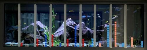 dcg-foerderpreis-schulaquaristik-2021-dillenburg-02-auswertung der daten zum revierverhalten der männchen von l fuelleborni blau-dunkelblau und m zebra rot und dunkelrot